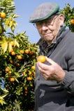 Old man picking fruit Royalty Free Stock Image