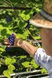 Old man picking red grapes royalty free stock image