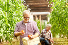 Old man picking tomatoes up at farm greenhouse Stock Image