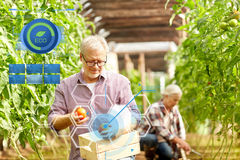 Old man picking tomatoes up at farm greenhouse Royalty Free Stock Photography