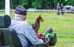 An old man on a quad bike with a dog breed russian toy terrier_ royalty free stock photos