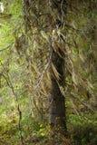 Old man's beard. Fir tree with Usnea barbata - old man's beard on branch royalty free stock photo