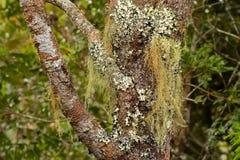 Old man`s beard Fruticose lichen Usnea and leaf-like Foliose l Stock Photography