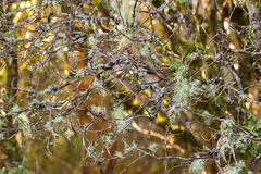 Old Man`s Beard Fruticose Lichen, Usnea, Tree Moss Hanging On Br Stock Images