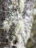 Usnea sp. lichen Royalty Free Stock Photos