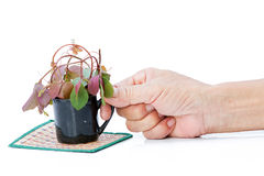 The old man's hand and cup of growing tree Environment concept Royalty Free Stock Photos
