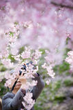 An old man taking a photo of Sakura flowers cherry blossom Royalty Free Stock Image