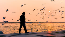 Old man walking alone near the seashore at sunset, Seagulls flying on the sea. royalty free stock photo