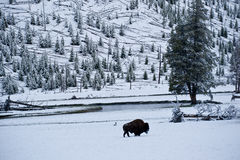 Old Man Winter. Alo ne bison stands in a snowy meadow beside Firehole River during Yellowstone's harsh winter stock images