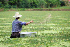 Old man is working in water-minosa lake. - (Shallow of focus) stock photo