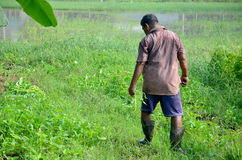 Old man 60 yearold harvest Thai morning glory Stock Photography