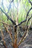 Old Mangrove tree Stock Photo