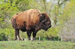 Old Mangy Bison. Profile Atop Knoll Stock Images
