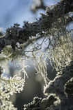 Old Mans Beard lichen. Royalty Free Stock Photography