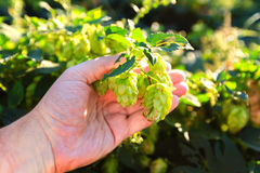Old mans hand and green hops Stock Photos