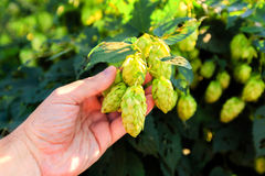 Old mans hand and green hops Royalty Free Stock Image