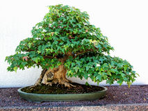 Old maple bonsai tree Royalty Free Stock Image