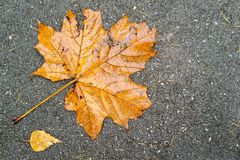 Old maple leaf on asphalt Stock Image