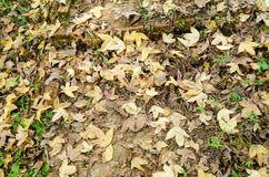 Old maple leaves fall from tree to the ground Royalty Free Stock Photos