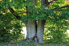 Old Maple Tree Royalty Free Stock Photography