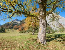Old maple tree with golden leaves in autumnal karwendel landscap. Old gnarled maple tree with golden leaves in autumnal karwendel landscape Stock Photo