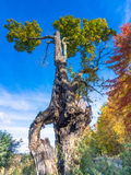 Old maple tree with a history over the years, a center hole in trunk Royalty Free Stock Photos