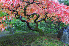 Old Maple Tree at Japanese Garden Stock Images