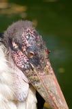 Old marabou stork Stock Image