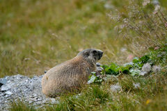 Old marmot in the rock e grass. Old marmot in the mountains controls the den Royalty Free Stock Images