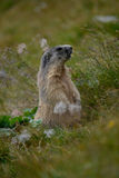 Old marmot in the rock e grass Stock Photo