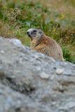 Old marmot in the rock e grass. Old marmot in the mountains controls the den Royalty Free Stock Photos