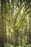 Old masive oak (Quercus) tree, lithuania stock photography