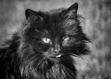 Old mean cat with attitude. Black and white monochrome image of an old mean cat with attitude Stock Photos