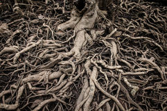 Old and messy tree roots royalty free stock image