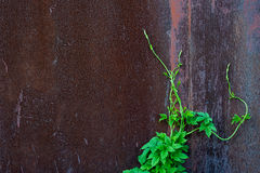 Old metal background and green plant. A young green sprout of ivy on an old rust metal background royalty free stock photo