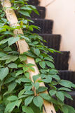 Old metal stairs covered in leafs. Old metal stairs covered in green leafs Royalty Free Stock Image