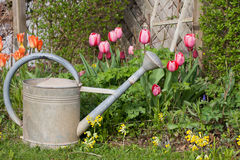 Old metal watering can in the garden with tulips and cowslips Stock Images