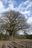 Old mighty oak tree Stock Photography