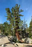 Old mighty pine tree in a californian Yosemite Forest saved from californian wild fire. A mighty pine tree stands out in a Yosemite Park forest on the way to Royalty Free Stock Images