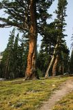 Old mighty pine tree in a californian Yosemite Forest saved from californian wild fire stock photos