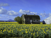 Old Milk Barn in Daffodil Field during Tulip Festival Royalty Free Stock Images