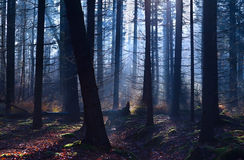 Old misty coniferous forest Stock Photos