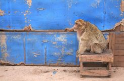Old monkey #1. Old moroccan monkey met near road Stock Photography