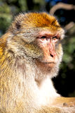 Old monkey in africa morocco and   background fauna close up Royalty Free Stock Photo