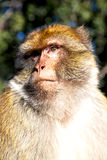 Old monkey in africa morocco   close up Royalty Free Stock Photography
