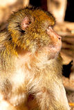 Old monkey    in africa morocco and natural background    close up Stock Images