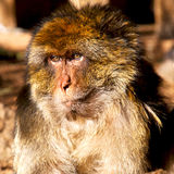 Old monkey in africa morocco and natural background fauna close Stock Images