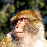 Old monkey in africa morocco and natural background fauna close. Up Stock Image