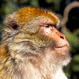 Old monkey in africa morocco and natural background fauna close. Up Stock Photography