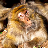 Old monkey in africa morocco and natural background fauna close. Up Royalty Free Stock Image